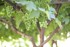 Ripe bunches of green grapes Royalty Free Stock Photography