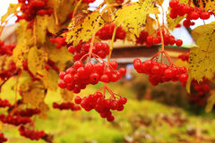 Ripe bunches of red viburnum hang among yellow leaves Stock Photo