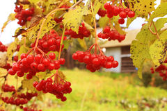 Ripe bunches of red viburnum hang among yellow leaves in autumn Stock Photography