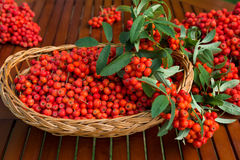 Ripe bunches of rowan berries in a wicker basket. Stock Photos