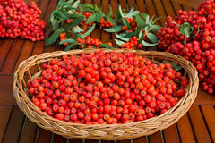 Ripe bunches of rowan berries in a wicker basket. Stock Photo