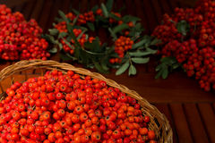 Ripe bunches of rowan berries in a wicker basket. Stock Image