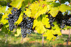 Ripe bunches of wine grapes on a vine in warm light Stock Photo