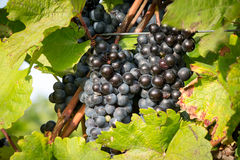 Ripe bunches of wine grapes on a vine in warm light Stock Images