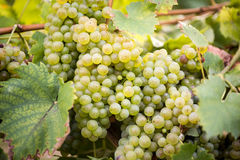 Ripe bunches of wine grapes on a vine in warm light Royalty Free Stock Image