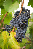 Ripe bunches of wine grapes on a vine in warm light Stock Photography