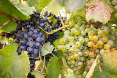 Ripe bunches of wine grapes on a vine in warm light Royalty Free Stock Images