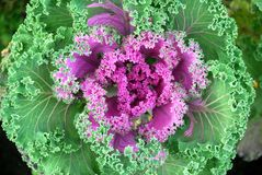 Ripe cabbage Stock Photo