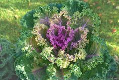 Ripe cabbage Stock Images