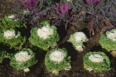 Ripe cabbage Stock Photos