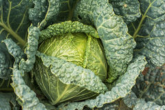 Ripe cabbage in the garden. Ripe green cabbage in the garden Stock Photo
