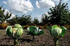 A ripe cabbage heads in the garden. Cabbage heads in the garden Royalty Free Stock Images