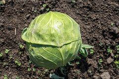 A ripe cabbage heads in the garden. Ripe cabbage heads in the garden Stock Image