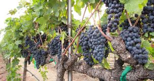 Abundant Grapes on The Vine. A Panning Closeup stock video footage