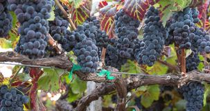 Abundant Grapes on The Vine. A Panning Closeup stock footage