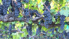 Abundant Grapes on The Vine. A Zoom Out Closeup stock video footage