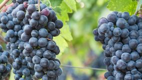 Grapes on The Vine Closeup Zoom stock video footage