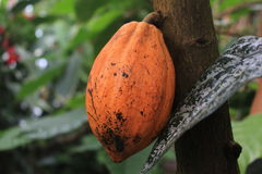 Ripe cacao fruit in the botanical garden of Gothenburg, chocolate, bio fuel, green energy, science, Sweden. Cacao is grown in the botanical gardens of Gothenburg Stock Images