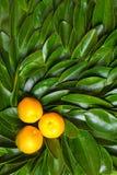 Ripe calamondin citrus fruits Stock Photography