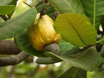 Ripe Cashew fruit. Cashew fruit growing also called as anacardium occidentale stock photos