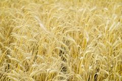 Ripe cereal ears close-up on hot summer afternoon on background of yellow field. Royalty Free Stock Photos