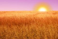 Ripe cereal field in the evening Stock Images