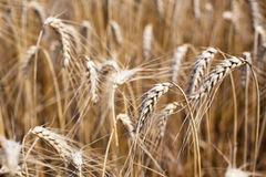 Ripe Cereal field Royalty Free Stock Photography