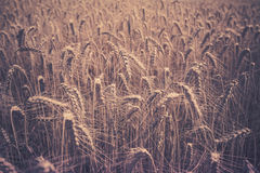 Ripe Cereal field Royalty Free Stock Image
