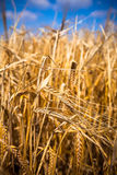Ripe Cereal field Stock Photo