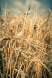 Ripe Cereal field Royalty Free Stock Photos