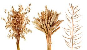 Free Ripe Cereals Plants Oats,wheat And Canola Isolated On A White Background. Royalty Free Stock Images - 109377599