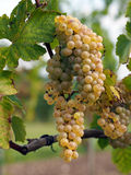 Ripe Chenin grape, Savenniere, France Royalty Free Stock Photo