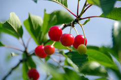 Ripe Cherries. On a tree, ready to be picked Royalty Free Stock Photos