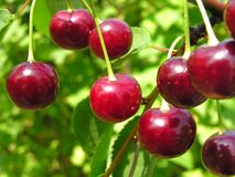 Ripe cherries Stock Photography