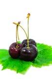Ripe cherries. Royalty Free Stock Photo