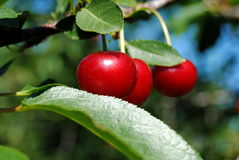 Ripe Cherries. On a tree, ready to be picked Stock Photos