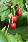 Ripe cherries. Stock Image