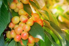 Ripe cherries on a branch in a cherry orchard. Close-up. Stock Images