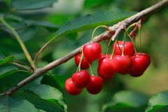 Ripe cherries on a branch in a cherry orchard. Close-up. Stock Photography