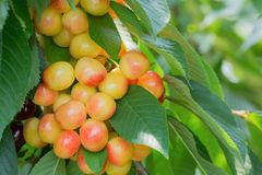 Ripe cherries on a branch in a cherry orchard. Close-up. Royalty Free Stock Images