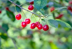 Ripe cherries branch closeup photo. Red berry fruit tree, green leaves, summer time garden background. Selective focus Stock Image