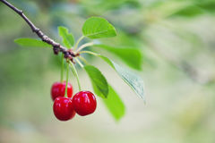 Ripe cherries branch closeup photo. Red berry fruit tree, green leaves, summer time garden background. Selective focus Stock Photos