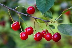 Ripe cherries branch closeup photo. Red berry fruit tree, green leaves, summer time garden background. Selective focus Royalty Free Stock Photography