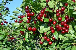 Ripe cherries. Branch of ripe cherries in an European orchard Royalty Free Stock Images