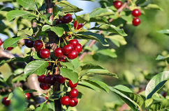 Ripe cherries Stock Images