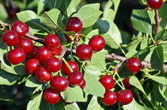 Ripe cherries Royalty Free Stock Photography