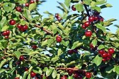 Ripe cherries Royalty Free Stock Image