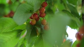Sweet cherries on a branch in a garden. Ripe cherries on a branch in a garden stock footage