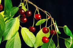 Ripe cherries on a branch. Royalty Free Stock Photo