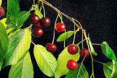 Ripe cherries on a branch. Stock Photos